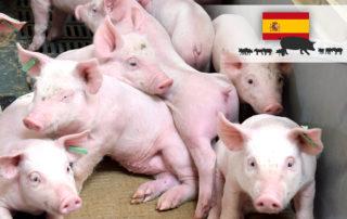 Magapor Sector porcino España