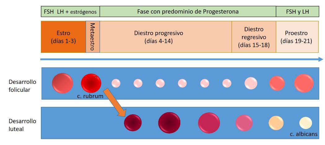 Esquema ciclo reproductivo