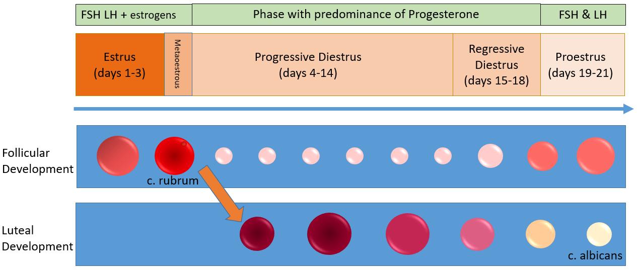 Reproductive cycle diagram