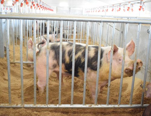 Routine monitoring and diagnosis of PRRS in the boar stud (II)