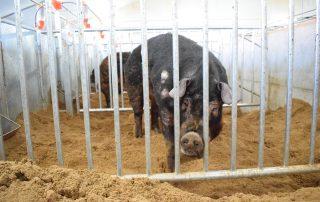 Boar in a boar stud
